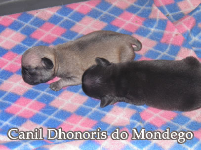 Pug Carlin Canil Dhonoris do Mondego
